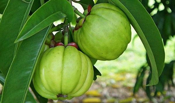 quả bứa là quả gì,quả bứa rừng,quả bứa còn gọi là quả gì,quả bứa là gì,quả bứa bán ở đâu,quả bứa giảm cân,mua quả bứa,thuốc giảm cân từ quả bứa,quả bứa khô,quả bứa mua ở đâu